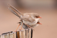 Superb Fairywren (marj k) Tags: bird nsw fav dubbo superbfairywren maluruscyaneus maluridae img48071