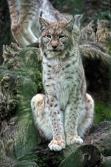 Lince (Urugallu) Tags: canon felinos linceiberico carnivoros linces gatomontes vosplusbellesphotos urugallu felídos