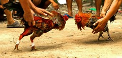 Chicken Fight (GigoloArt) Tags: chicken vietnamese chick vietnam viet chickenfighting chickenfight vietnamesechicken