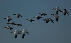 68EV0161 (sgbaughn) Tags: geese goose snowgeese snowgoose