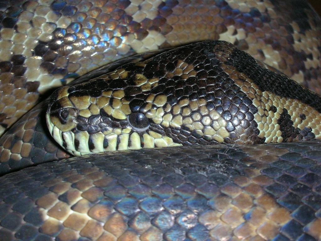 Misha the carpet python