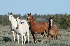 So Steens, Or. (calljohn3) Tags: horses horse nature oregon wildlife mustang mustangs calljohn3