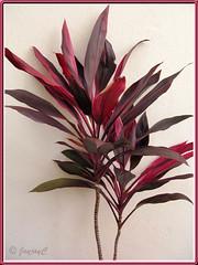 Cordyline terminalis/C. fruticosa or Ti Plant, Hawaiian Ti - (pink/red/maroon)