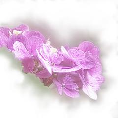 pink flowers_1500 (mondays child) Tags: pink flower photoshop soft overlay fade layers nik fz50 define panisonic