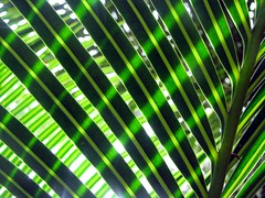 (*omnia*) Tags: green leaves lines backlight leaf australia backlit coffsharbour pc2450