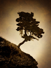 Lonesome Tree (Clyde Barrett (0ffline)) Tags: tree texture sepia newfoundland nl nfld clydebarrett goldstaraward