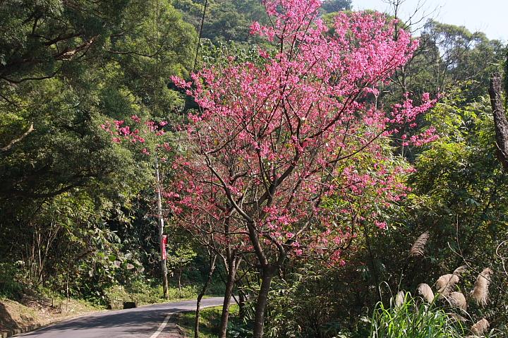 樹林大同山青龍嶺的櫻花林0023
