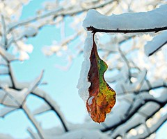 hangin in there (Sabrina~Rose) Tags: bluesky snowday holdingonfordearlife snowybranches bokehbranches
