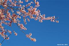 Cherry Blossoms 6148e (Harris Hui (in search of light)) Tags: pink flowers blue sky canada vancouver cherry spring nikon fuji bc blossoms bluesky richmond fujifilm cherryblossoms dslr amateur springflowers oakridge upinthesky beautifulbc sigma70200mmf28 fujis3pro welovespring japanesecherryblossoms beautifulcherryblossoms cherryblossomsinvancouver spring2010 tisdallpark harrishui vancouverdslrshooter tisdallstreet springhascometovancouver blueskyasbackdrop springcomestotown rainiscomingthisweek springinbc cherryblossomsoutsideofjapan cherryblossomsousideoftokyo flowersfromjapan cherryblossomsonthestreet
