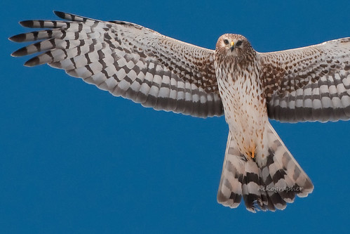 Northern Harrier @ Blackwater Refuge