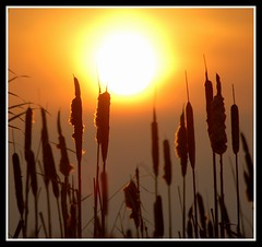 You are the light in my life.... (Levels Nature) Tags: uk sunset sun nature silhouette reeds reserve somerset explore rspb greylake impressedbeauty