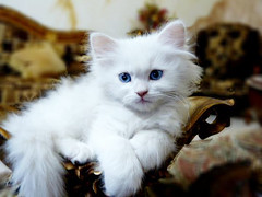 kitten ^_^ (Samir Al-Haj) Tags: cat canon kitten photographer designer saudi lovely samir 500d artiest canon500d alhaj بسة قطوه جودي joudy saudiphotographer samiralhaj سميرالحاج المصورسميرالحاج المصممسميرالحاج
