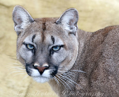 HEY BLUE EYES - YOU LOOKING AT ME (Snaps379) Tags: heritage wildlife foundation puma