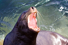 I Am Lion Hear Me Roar 8179 (casch52) Tags: ocean california county sea canon mouth bay photo monterey wildlife teeth lion sealife photograph bark seal aggressive throat roar wiskers cavities 50d familygetty2010 familygetty
