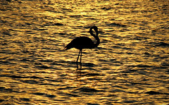 ballerina of the lake (ssj_george) Tags: sunset lake black bird water silhouette canon lens rebel gold golden kiss shadows sundown flamingo salt cyprus saltlake f mm xs efs larnaca f456 55250  georgestavrinos   1000d ssjgeorge