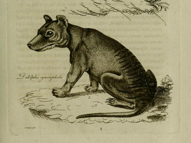 Original illustration of the thylacine