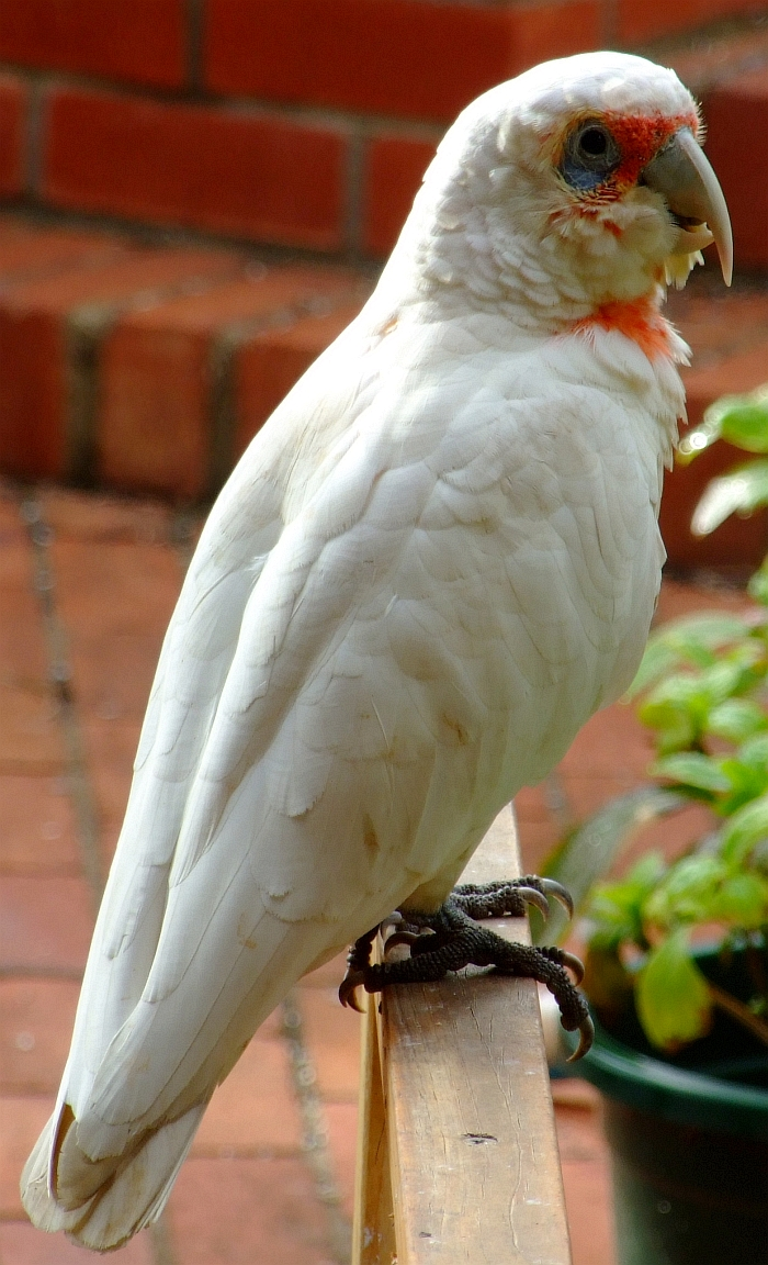 long billed corella cockatoo