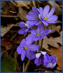 Hepatica nobilis (jd.echenard) Tags: flower nature fleur sigma hepaticanobilis nikond200 anmonehpatique riedsurbienne