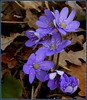 Hepatica nobilis (jd.echenard) Tags: flower nature fleur sigma hepaticanobilis nikond200 anémonehépatique riedsurbienne