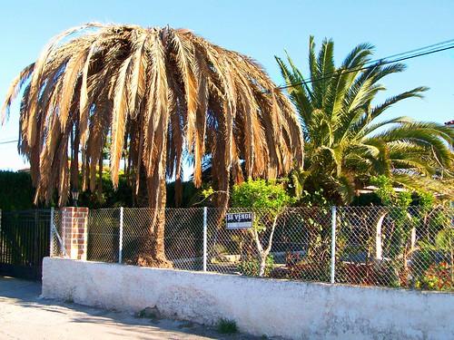 Efectes del morrut a una palmera