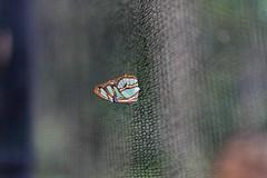 baudchon-baluchon-mindo-papillons-40