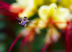 Ground control to Major Tom... (Boys and Bees) Tags: flower macro colors canon inflight bokeh flight bee handheld davidbowie groundcontroltomajortom canon100mm28l