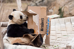 #ByeByeBaoBao (Smithsonian's National Zoo) Tags: baobao enrichment smithsonian smithsoniansnationalzoo friendsofthenationalzoo fonz