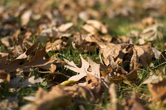 Dead leaves (pabs35) Tags: fall leaves lawn deadleaves