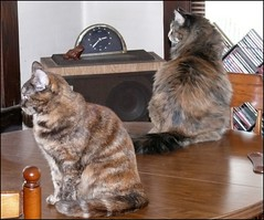 Hanging Out on the Table (Glenn Harris (Clintriter)) Tags: stella pets cute sisters cat table tortoiseshell together tortie maxine velvetpaws catmoments catnipaddicts