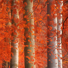 The colors of autumn IV (flowerpics09) Tags: autumn red nature colors forest herbst beech farben buchen herbstfarben
