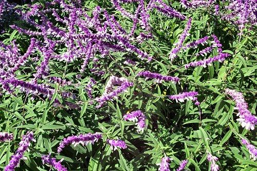 Salvia leucantha (rq) - 02