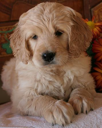 goldendoodle puppy. GOLDENDOODLE PUPPY