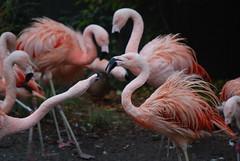 Quarreling Flamingos