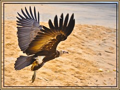 Hooded Vulture (davolly59 catching up soon, busy busy) Tags: bravo ngc westafrica 1001nights thegambia hoodedvulture theworldwelivein kotu topseven specanimal anawesomeshot impressedbeauty theunforgettablepictures platinumheartaward 100commentgroup saariysqualitypictures mothernaturesbest adrinnesmagicalmoments birdperfect 1001nightsmagiccity mothernaturesgreenearth birdsofthegambia