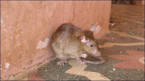 A rat in Karni Mata Temple