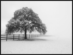 Hiding Reality (Tony Immoos) Tags: california lighting winter blackandwhite bw white snow storm tree monochrome fog clouds fence landscape vanishingpoint blackwhite haze oak scenic olympus pa pasture e3 centralvalley eldoradocounty californialandscape zd 1260mm olympuse3