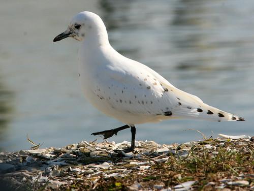 Ivory Gull 3-20091208
