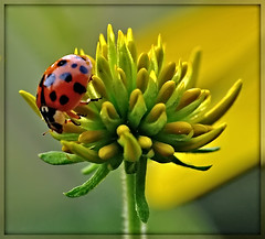 flower and beetle (pinecreekartist) Tags: pictureperfect chiaramonte topseven wellsboropa macrolife saariysqualitypictures physis pinecreekartist tiogacountypachiaramonte