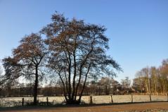 Bomen naast een berijpt weiland - Trees beside a frosted meadow (RuudMorijn) Tags: trees frozen bomen bevroren meadow weiland frosted grasland berijpt frozenmeadow bevrorenweiland