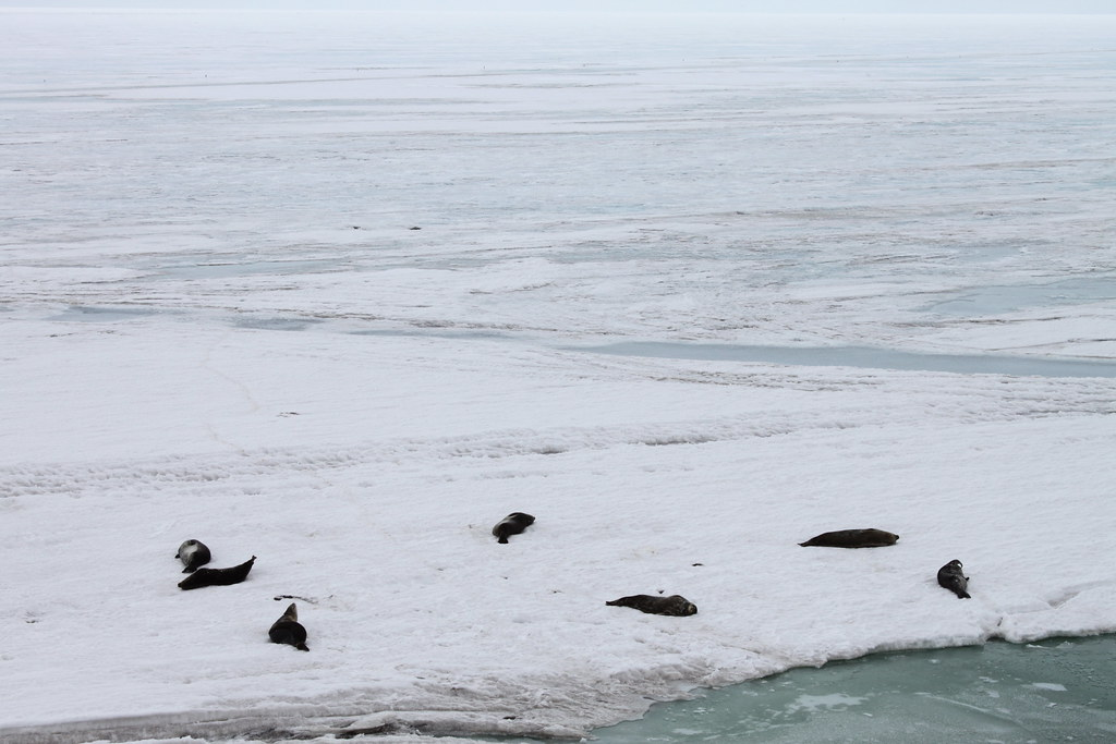 Antarctica: Weddel Seals at Hut Point by eliduke, on Flickr
