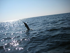 Spinner dolphin (ABC Dolphin Trainer Academy) Tags: mexico dolphin puertoescondido spinnerdolphin
