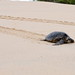 Marin Turtle - Tortue Marine - Tortuga Marina