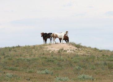 Hill Horses CU