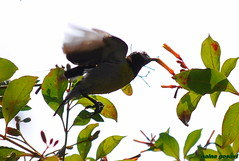 purple rumped sunbird (nainagosavi) Tags: purple sunbird rumped