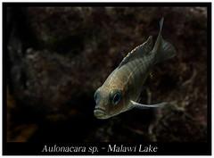 Aulonacara_sp_800_03 (Bruno Cortada) Tags: malawi marino mbunas cclidos sudafricanos tanganyica