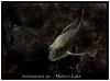 Aulonacara_sp_800_03 (Bruno Cortada) Tags: malawi marino mbunas cíclidos sudafricanos tanganyica