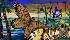 Argyreus hyperbius subsp. inconstans  - Australian Fritillary Butterfly and Host Plant Viola betonicifolia - Native Violet (Treasures of the Tweed Mural) (Black Diamond Images) Tags: butterfly australia nsw endangered viola commercialroad florafauna threatenedspecies murwillumbah violaceae nymphalidae argyreushyperbius cunoniaceae davidadams commercialrd argyreus davidsonia davidsoniajerseyana educationalmural tweedcaldera treasuresofthetweedmural southerndavidsonsplum lacedfritillarybutterfly violabentonicifolia australianfritillarybutterfly argyreushyperbiussubspinconstans tottmp treasuresofthetweed butterflymurals tweedartgallery endangeredecologicalcommunities2008present