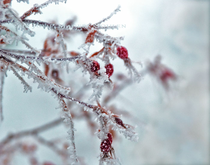 Sparkling and frozen, cherry red rose hips dangle like Christmas ornaments from the old red twig rose bush on a frosty winter day.