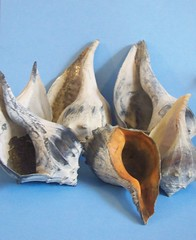 conch (1022 Sea Shell Ave) Tags: conch conchshells seatreasures
