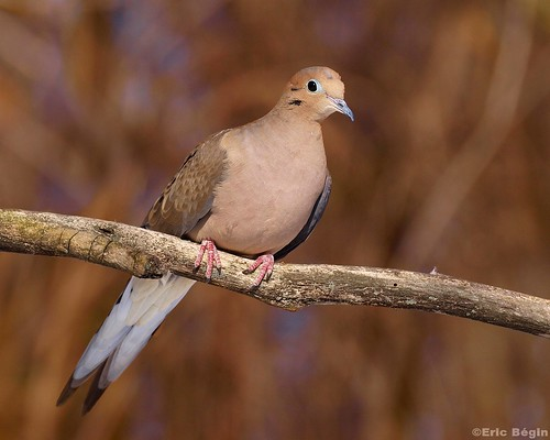 Mourning dove / Tourterelle triste